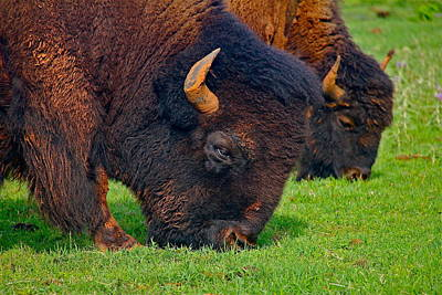 Photograph - Grazing Buffaloes by Denise Mazzocco