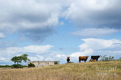 Photograph - Grazing Cattle By A Ruin by Kennerth and Birgitta Kullman
