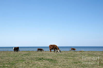 Photograph - Grazing Cattle By The Coast by Kennerth and Birgitta Kullman
