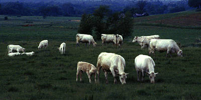 Photograph - Grazing Cattle II by Michael Moschogianis