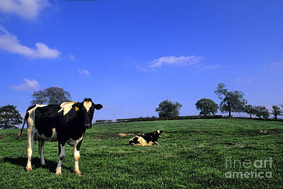 Photograph - Grazing Cows Ireland by Bill Bachmann
