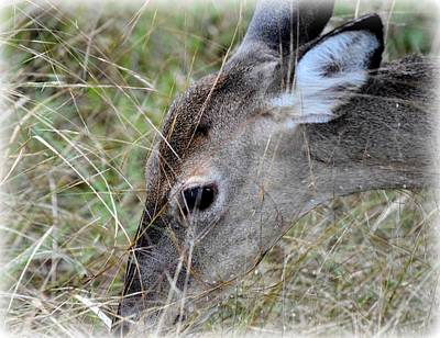 Photograph - Grazing Doe by Sheri McLeroy