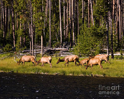 Photograph - Grazing Elk by Chuck Flewelling