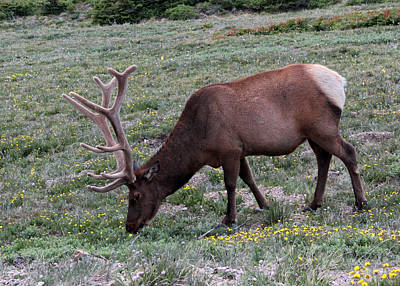 Photograph - Grazing Elk by Mary Bedy