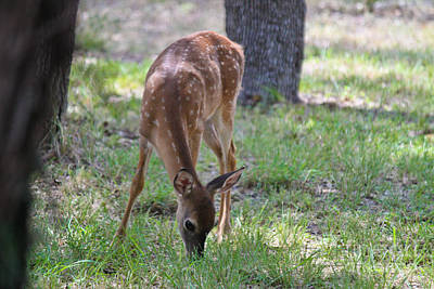 Photograph - Grazing Fawn by Diana Black