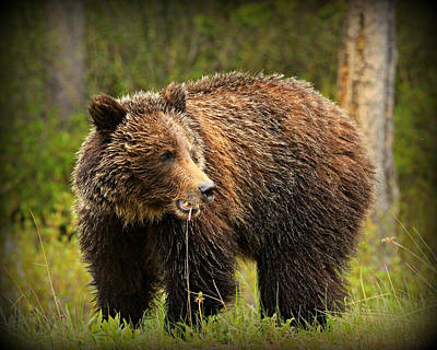 Cal Photograph - Grazing Grizzly by Stephen Stookey
