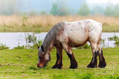 Photograph - Grazing Horse by Nick  Biemans