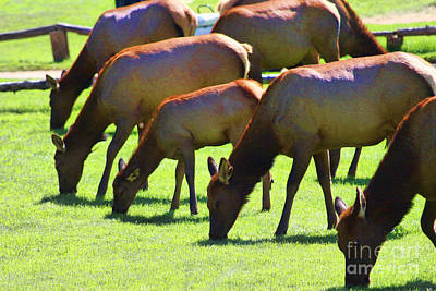 Photograph - Grazing In The Grass by Audreen Gieger