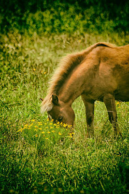 Photograph - Grazing Pony by Karol Livote