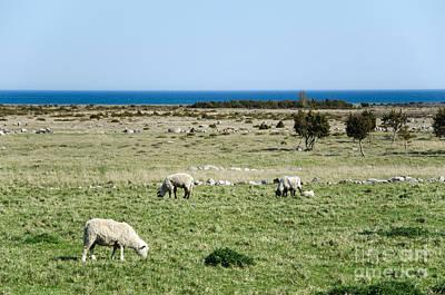 Photograph - Grazing Sheep In A Coastal Landscape by Kennerth and Birgitta Kullman