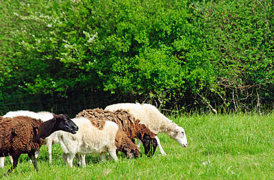 Photograph - Grazing Sheep by Tikvah's Hope