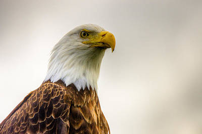 Photograph - Great American Bald Eagle Homer Alaska by Natasha Bishop