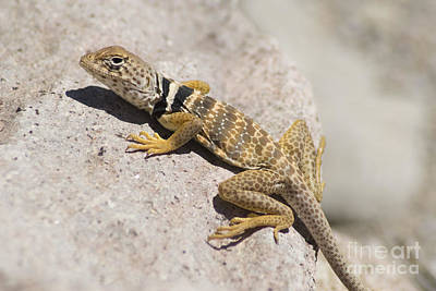 Photograph - Great Basin Collared Lizard by Dan Suzio