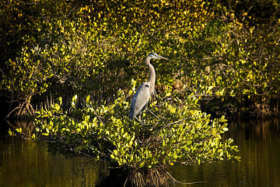 Photograph - Great Blue And Mangrove by Rich Franco