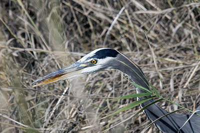 Photograph - Great Blue Heron - 0026 by S and S Photo