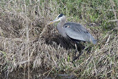 Photograph - Great Blue Heron - 0028 by S and S Photo