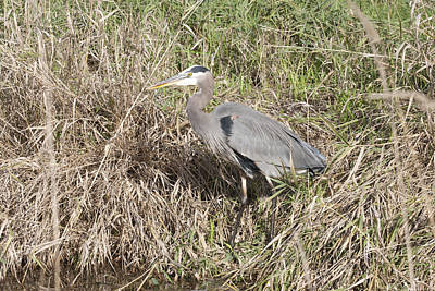 Photograph - Great Blue Heron - 0029 by S and S Photo