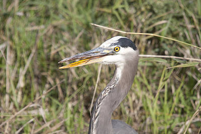 Photograph - Great Blue Heron - 0032 by S and S Photo