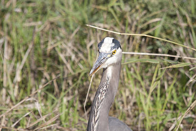 Photograph - Great Blue Heron - 0033 by S and S Photo