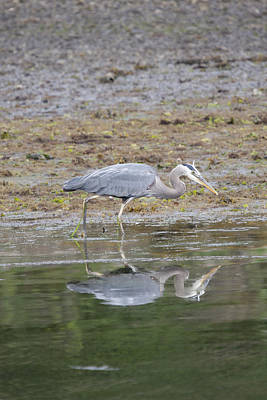 Photograph - Great Blue Heron - 0034 by S and S Photo