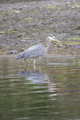 Photograph - Great Blue Heron - 0038 by S and S Photo