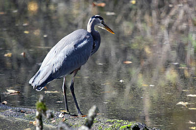 Photograph - Great Blue Heron - 0042 by S and S Photo
