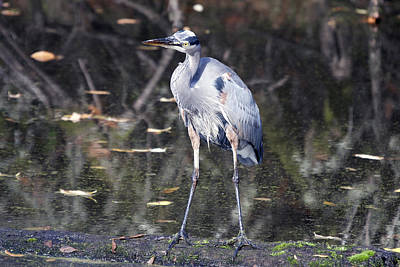 Photograph - Great Blue Heron - 0044 by S and S Photo