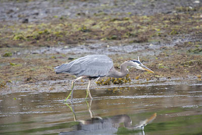 Photograph - Great Blue Heron - 0035 by S and S Photo