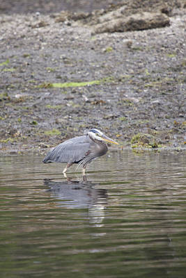 Photograph - Great Blue Heron - 0039 by S and S Photo