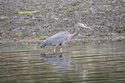 Photograph - Great Blue Heron - 0040 by S and S Photo