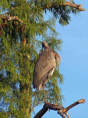 Florida Wildlife Photograph - Great Blue Heron 031 by Chris Mercer