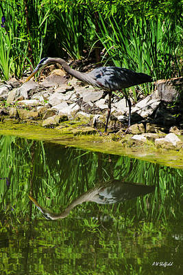 Photograph - Great Blue Heron 1 by Allen Sheffield