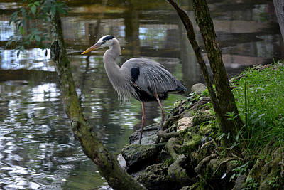Photograph - Great Blue Heron 1 by Judy Wanamaker