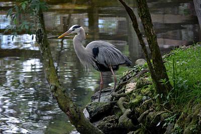 Photograph - Great Blue Heron 1 by Judy Wanamaker