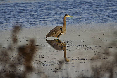 Photograph - Great Blue Heron 1 by SC Heffner