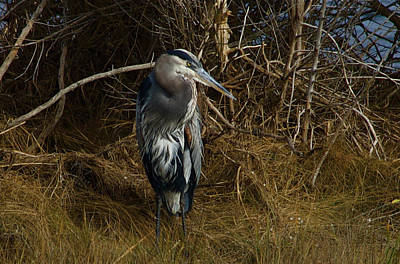 Photograph - Great Blue Heron 2 by Greg Vizzi