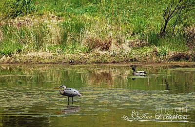 Photograph - Great Blue Heron 20120430a_64a by Tina Hopkins