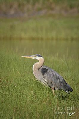 Photograph - Great Blue Heron by Alana Ranney