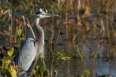 Water Bird Photograph - Great Blue Heron Alarmed by Ellie Teramoto
