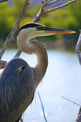 Photograph - Great Blue Heron by Amazing Jules