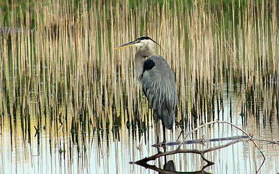 Mark Wagner Wall Art - Photograph - Great Blue Heron And Reeds. by Mark Wagner