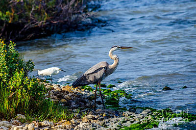 Great Blue Heron And Snowy Egret At Dinner Time Art Print