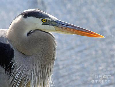 Heron Photograph - Great Blue Heron by April Antonia