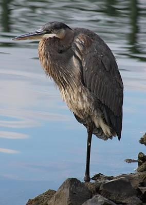 Great Blue Heron At Deep Water Lagoon Art Print