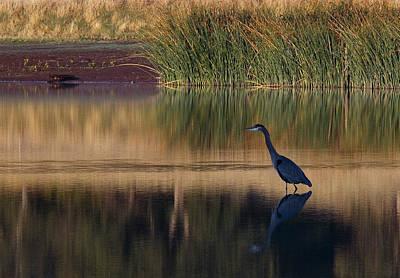 Photograph - Great Blue Heron At Horseshoe Lake by Robert Woodward