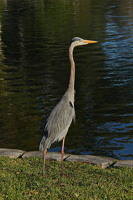 Photograph - Great Blue Heron At Lake Eola by Denise Mazzocco