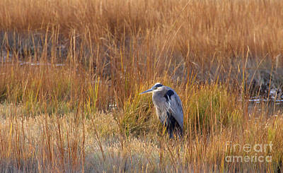 Photograph - Great Blue Heron At Rest by Cindy Lee Longhini