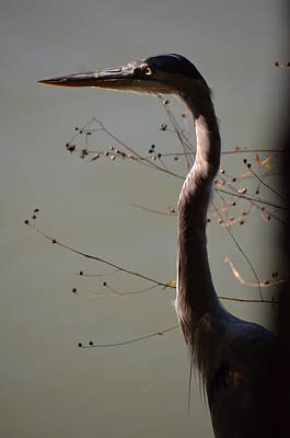 Photograph - Great Blue Heron At Sunset by Maria Urso