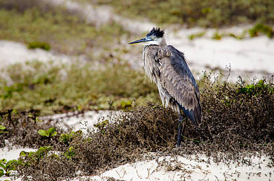 Photograph - Great Blue Heron - Back To The Wind by Debra Martz