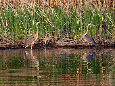 Photograph - Great Blue Heron by Bill Pevlor